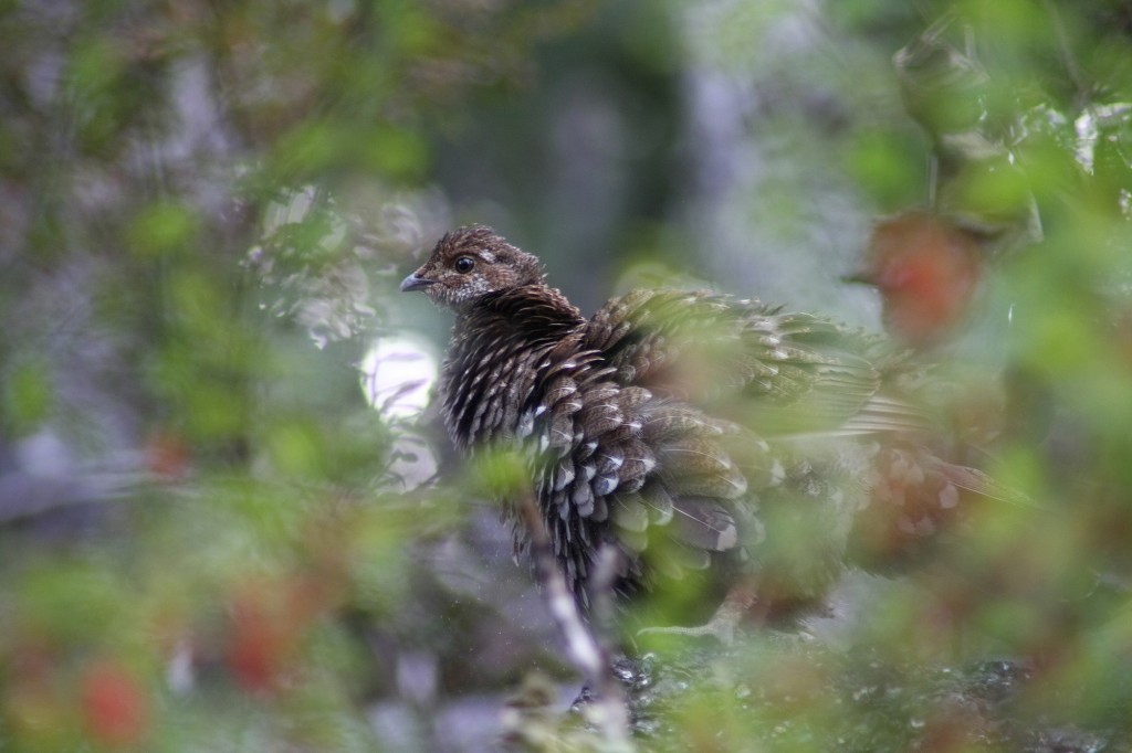 Sooty grouse at Saddle Mountain